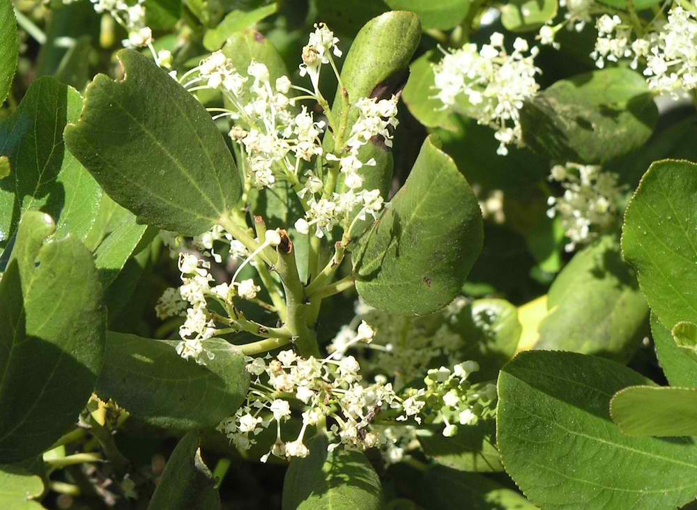 The dried crushed leaves and flowers can be used as a natural mosquito repellent.