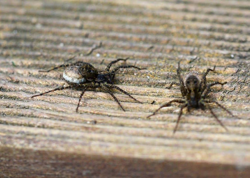 Getting Rid Of Spiders In Your Home Spiders Repellent Guide